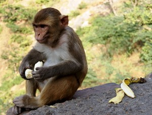 Peeling banana monkey
